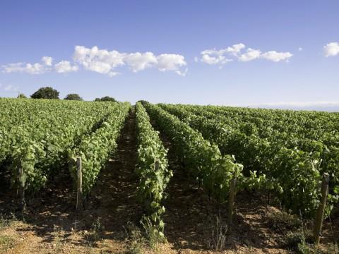 Filari / vineyard